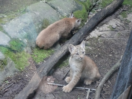 lynx kittens and logs